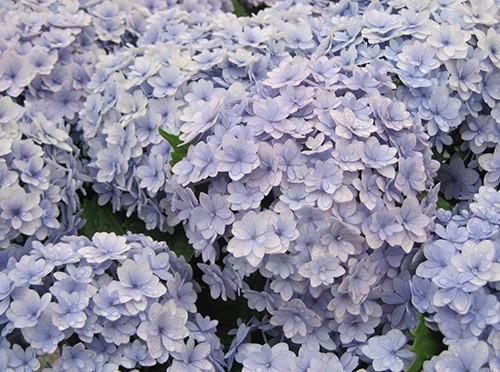 毎年花を咲かせるアジサイの育て方