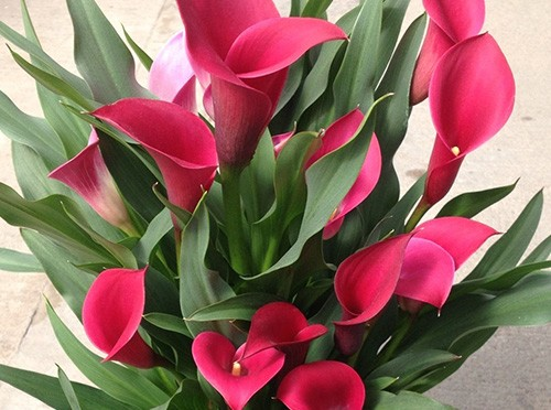 毎年花を咲かせるカラーの育て方