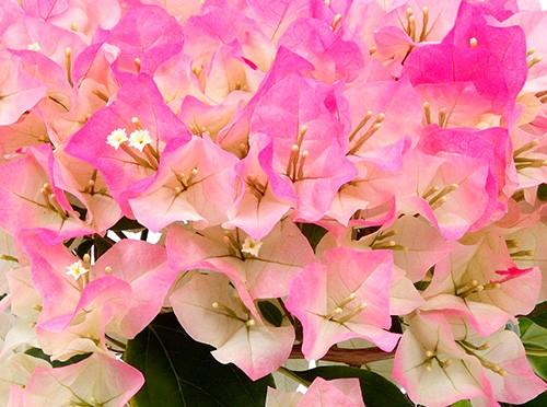 たくさん花を咲かせるブーゲンビリアの育て方