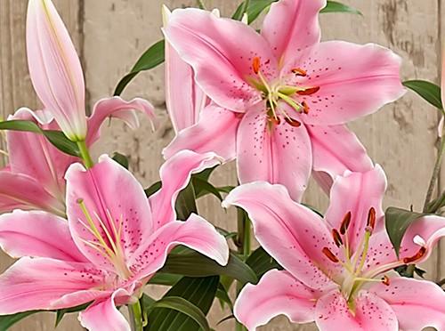 毎年花を咲かせるユリの育て方