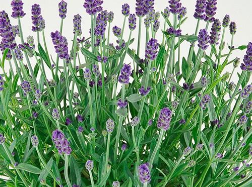 毎年花を咲かせるラベンダーの育て方