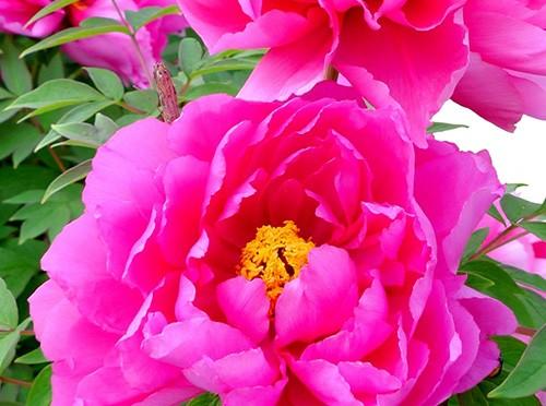 毎年花を咲かせる牡丹の育て方