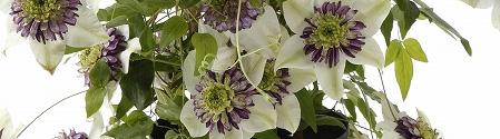 年に2~4回咲かせるクレマチスの育て方(ビエネッタ、カシス)
