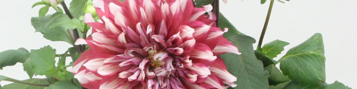 たくさん花を咲かせるダリアの育て方