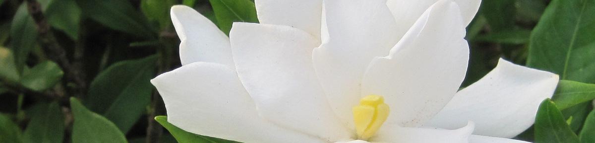 毎年花を咲かせるくちなしの育て方