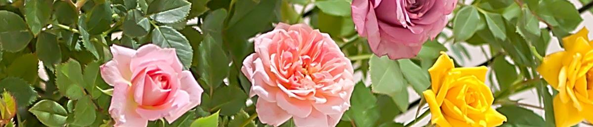 毎年花を咲かせるミニバラの育て方