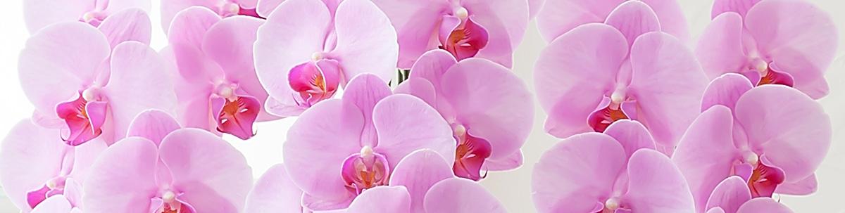花を咲かせる胡蝶蘭の育て方