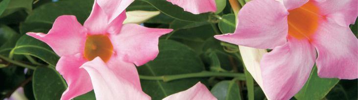 たくさん花を咲かせるサンパラソルの育て方