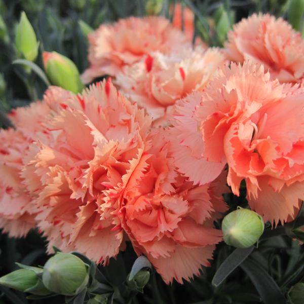 オレンジ色のカーネーションの花言葉