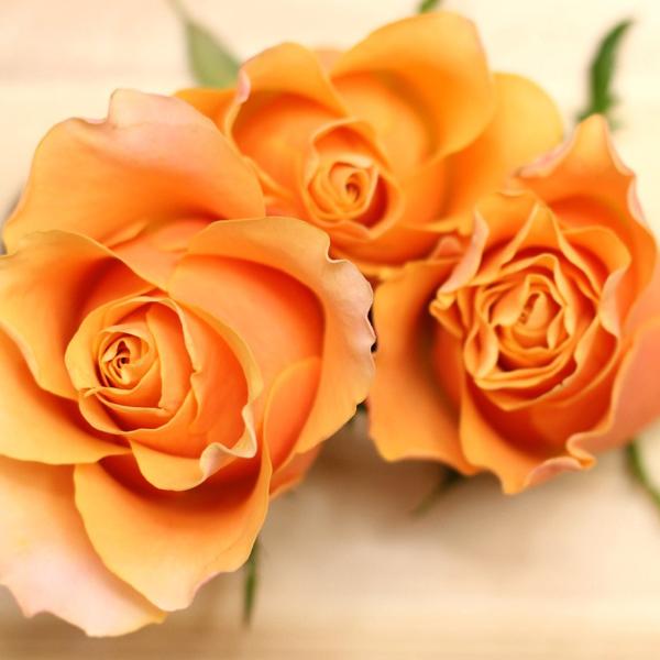 オレンジ色のバラの花言葉