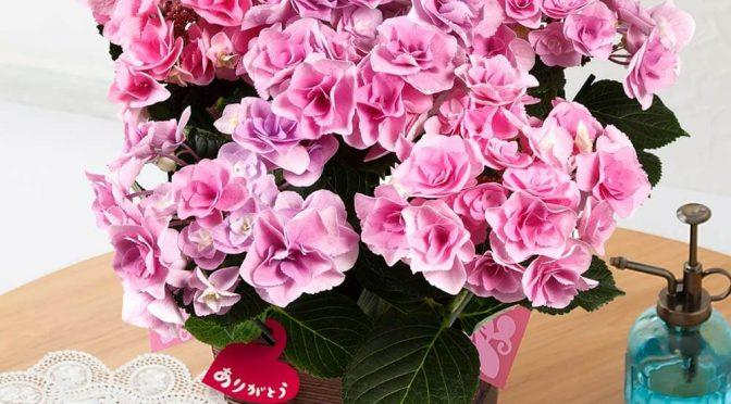 母の日 鉢植え「アジサイ フェアリーアイ~イイハナ人気NO.1~」