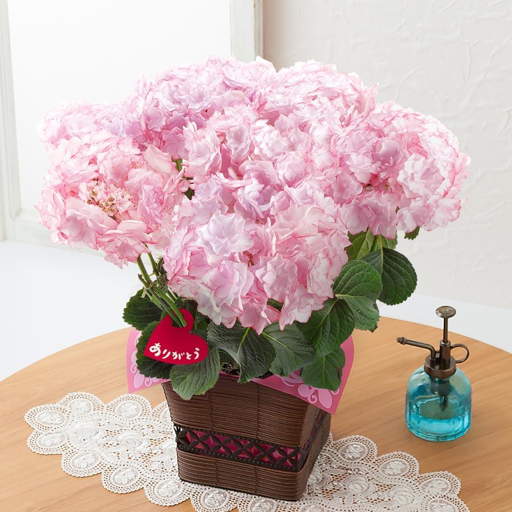 母の日 鉢植え「アジサイ KEIKO~フラワー・オブ・ザ・イヤー2015受賞~」