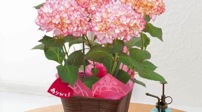 母の日 鉢植え「アジサイ 未来~フロリアード金賞受賞~」