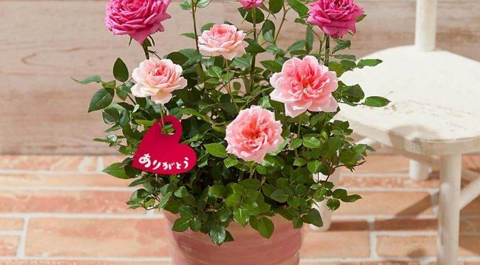 母の日 寄せ植え「キューティー・ロゼ~香りのガーデンローズ~」