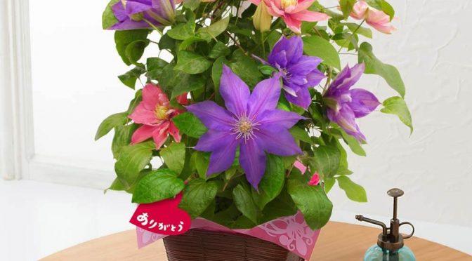 母の日 鉢植え「豪華な2色植えクレマチス」