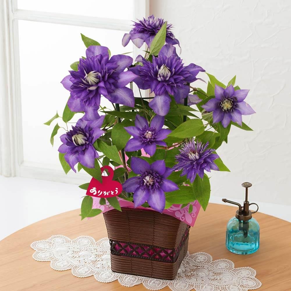 母の日 鉢植え「紫の大輪クレマチス~尊敬の想いを込めて~」