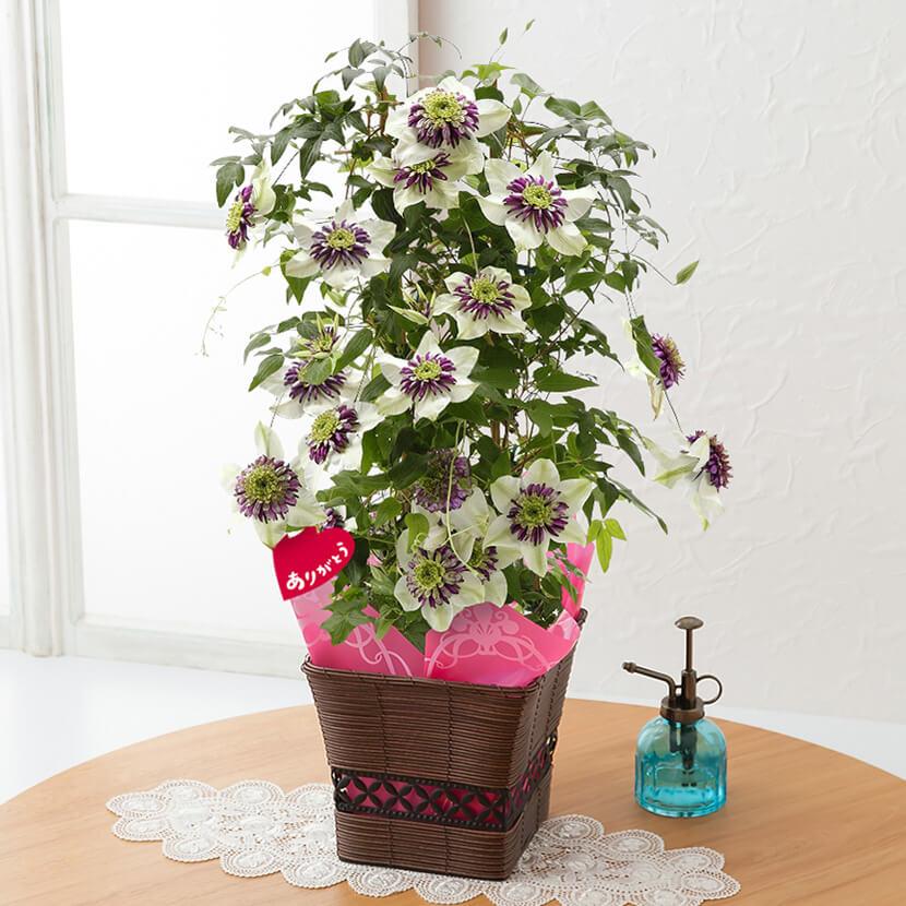 母の日 鉢植え「クレマチス ビエネッタ~和風モダンなフェンス仕立て~」