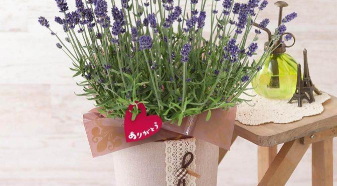 母の日 鉢植え「ラベンダー センティヴィア~癒しの香りの贈り物~」
