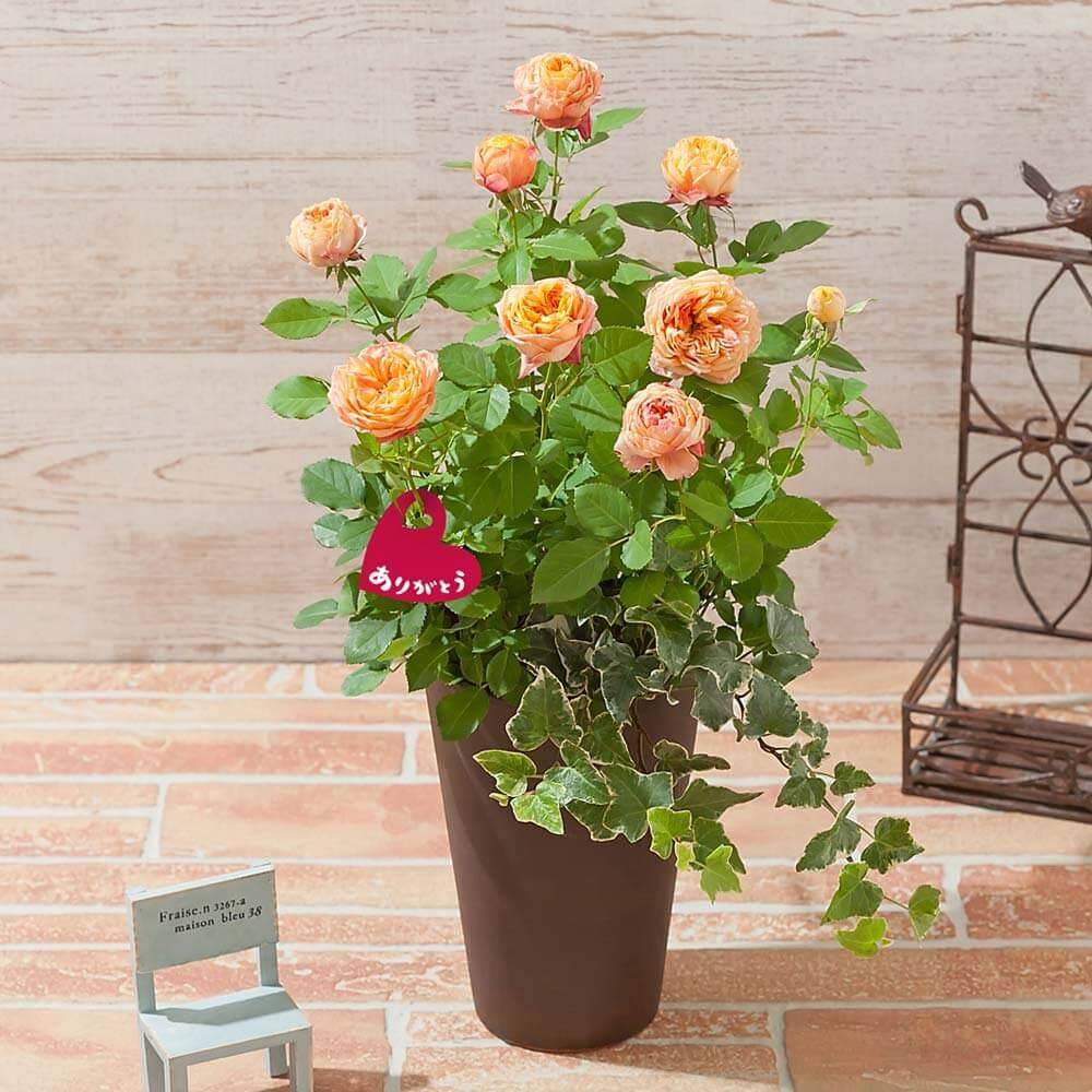 母の日 寄せ植え「バラ ベビーロマンティカ」
