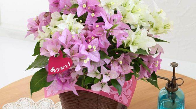 母の日 鉢植え「ブーゲンビリア ブルージュ~2色寄せ植え~」
