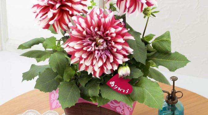 母の日 鉢植え「紅白の大輪ダリア~感謝の贈り物~」