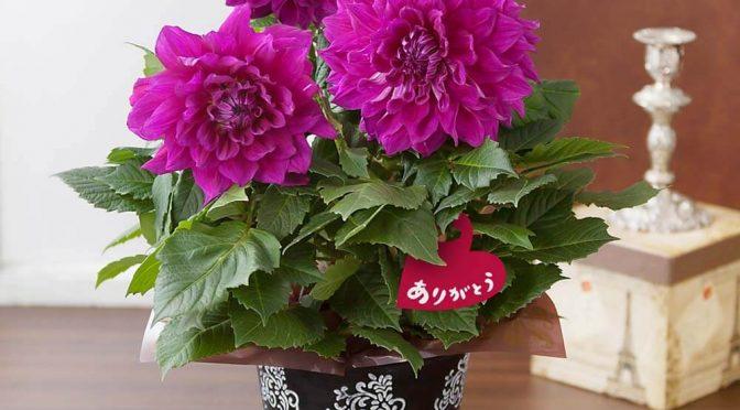 母の日 鉢植え「ダリア ロイヤルバイオレット」